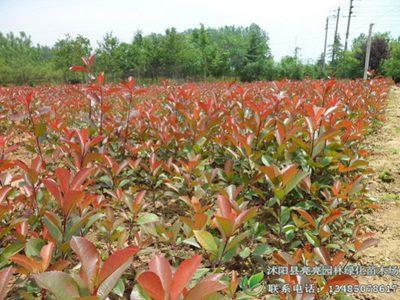 沭阳县亮亮园林绿化苗木场